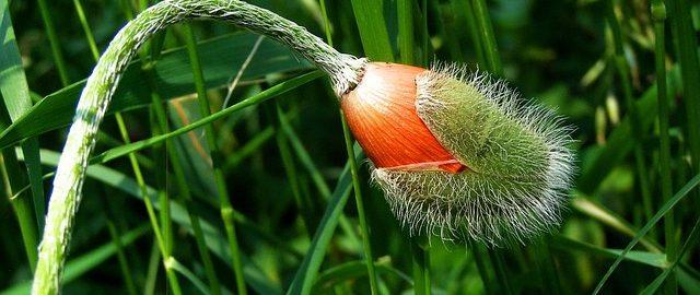 http://pixabay.com/static/uploads/photo/2012/05/29/09/00/poppy-49302_640.jpg?i Mohn Blütenknospen, editzohar, Public Domain CC0